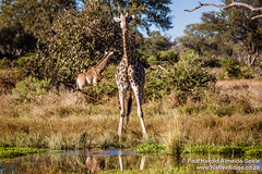 Giraffe Drinking In The Okavango Delta, Botswana