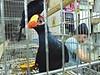 Aves - Pássaros (11) (jemaambiental) Tags: horse dogs birds fauna hamster cavalos cachorros coelho pássaros tigres macacos picapau ursos suricatas periquitos urubú escorpião faisão poneis chipanzés esqueletodecobra