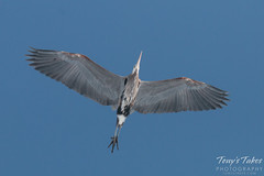 March 1, 2015 - A Great Blue Heron flies overhead at Cherry Creek. (Tony's Takes)
