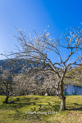 Harry_23264,,,,,,,,,,,,,,,,,,,Plum,Plum Tree,Tree,Fruit,Farm (HarryTaiwan) Tags: tree fruit nikon farm plum taiwan     plumtree d800     nantou       nantoucounty          harryhuang  hgf78354ms35hinetnet adobergb