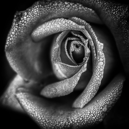 Rose in monotone