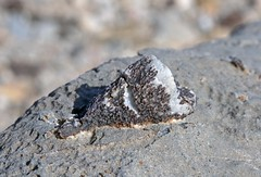 Fossil Horn Coral (Ron Wolf) Tags: california nature fossil nationalpark paleontology geology mississippian earthscience deathvalleynationalpark paleozoic cnidaria anthozoa inyocounty stauriida cyathopsidae caniniasp perdidoformation