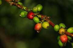 IMG_1074 (Luismi G O) Tags: red color green nature canon colombia gotas coffie fruto broca
