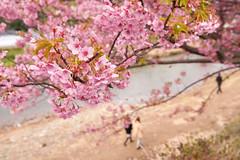 DS7_1687.jpg (d3_plus) Tags: street sea sky plant flower nature car rain japan drive spring scenery cloudy wideangle rainy  cherryblossom  sakura   shizuoka    touring  izu  kawasaki  superwideangle  kawazu          a05  kawazuzakura  1735mmf284 tamronspaf1735mmf284dildasphericalif tamronspaf1735mmf284dildaspherical d700  nikond700 tamronspaf1735mmf284dild tamronspaf1735mmf284 kawazucherryblossom tamronspaf1735mmf284dildasphericalifmodela05