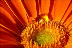 Macro with Olympus (Thomas W. Berlin) Tags: flower macro olympus gerbera waterdrops blume makro 43 wassertropfen 1250 mft omdem5 thowe62