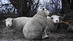 winter sheep 03 (byronv2) Tags: trees winter snow field animals rural scotland countryside sheep farm fields dullatur
