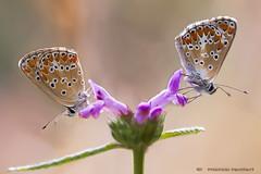 In coppia (marcorenieri) Tags: farfalla coppia farfalle
