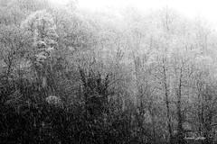 FONTAINEMORE (7) (filippi antonio) Tags: wood trees winter blackandwhite white mountain snow alberi landscape neve inverno montagna bianco paesaggio biancoenero bosco nevicata valledaosta fontainemore valledellys