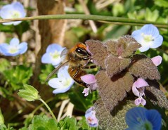 Bee In The Purple Deadnettle 2 (mcnod) Tags: veronica bee april 2015 purpledeadnettle mcnod bwibiketrail andoverequestriancenter