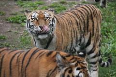 2014-08-17 (217) (CookiiEwe) Tags: park animals sweden stripes wildlife tiger whiskers tounge sverige paws siberian djur kolmrden djurpark tunga sibirisk rnder tassar