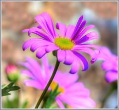 Spring Purple (tdlucas5000) Tags: flowers flower macro daisies purple bokeh double daisy hdr purpledaisy riverdaisy