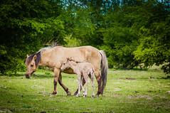 Koniks horses (inekehuizing) Tags: horses nature landscape spring natuur lelystad landschap paarden voorjaar koniks oostvaarderplassen inekehuizingfotografie