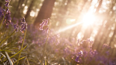 Hallerbos (fsanty) Tags: flower nature bluebells canon eos spring warm bokeh halo goldenhour 50d canonefs1755mmf28isusm