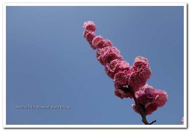 여의도벚꽃22