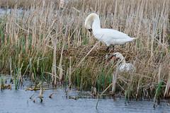 Swan's nest at Greylake (Steve Balcombe) Tags: bird swan somerset mute levels cygnus olor rspbgreylake