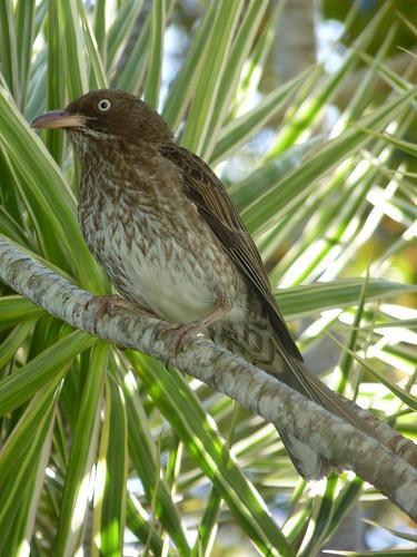 Jayuya, Hacienda Gripinas bird  (2)