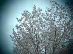 P5050025 (mina_371001) Tags: tree japan spring hokkaido sakura cherrybrossom photographywork olympusomdem10