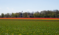 The Windmill (romanboed) Tags: leica flowers blue trees red sky holland netherlands windmill dutch field yellow landscape countryside spring tulips farm sunny m agriculture 50 summilux 240 keukenhof lisse