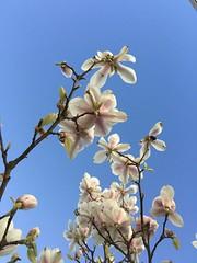 Full bloom of #magnolias #EnjoySweden #VisitSweden #Nature #PhotoOfTheDay #Spring #Bloom #Flowers #NiceWeather (tha_liyana) Tags: flowers nature spring bloom magnolias photooftheday niceweather visitsweden enjoysweden