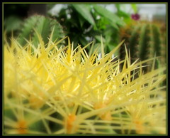 Cacti at Lowe's (young eclectic images) Tags: cactus green yellow cacti tennessee lowes kingsport jpy