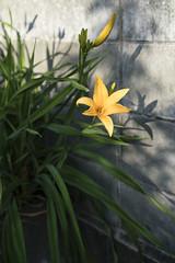 Daylily / Sony 7RII  Sonnar FE 55mm F1.8 ZA (mokuu) Tags: plant flower green yellow daylily