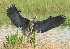 Landing... (WhitePointer) Tags: heron landing flight leightonmoss rspb