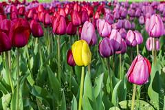 122Divergent (wlsonb) Tags: naturaleza flores flower flora tulips