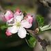 Caldwell Fields apple 2