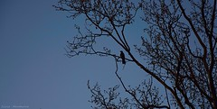 Lonely swallow (Silvia On a Cloud) Tags: sky tree alberi dark grey gris árboles grigio branches grau céu uccelli cielo lonely pajaro swallow vögel albero bäume árvore cinza ramos oiseaux árvores golondrinas passaros ramas rondini rondine allaperto filialen avalez