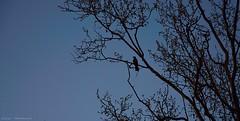 Lonely swallow (Silvia On a Cloud) Tags: sky tree alberi dark grey gris rboles grigio branches grau cu uccelli cielo lonely pajaro swallow vgel albero bume rvore cinza ramos oiseaux rvores golondrinas passaros ramas rondini rondine allaperto filialen avalez