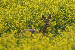 I see you! (Englepip) Tags: animal yellow mammal still eyes looking outdoor wildlife deer canola rapeseed 2016 englepip