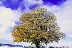 Par d'or et glace (Valentin le luron) Tags: nature jaune automne switzerland nikon lausanne yves paysage campagne arbre gel glace vaud romandie morrens chne feuillage paudex 800e 20160607