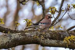 Kralingse plas (Wessel...) Tags: bird netherlands canon rotterdam wildlife nederland vogels kralingen vlaamsegaai kralingseplas