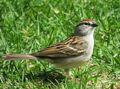 Chipping Sparrow (joanspictures1) Tags: minnesota canon wildlife powershot chippingsparrow champlin migrantbird