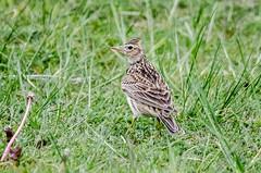 Skylark (phat5toe) Tags: nature birds nikon wildlife feathers penningtonflash avian skylark wigan greenheart alaudaarvensis d7000 sigma150500