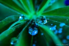 Aqua (KWinters Photography) Tags: blue green nature water colors closeup leaf nikon colorado aqua flickr bokeh outdoor drop droplet nikkor d7200