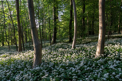 Trio in ramsons (EmiRose8) Tags: wild woodland downs evening spring south hampshire garlic wildflowers southdowns ramsons sussexhampshire