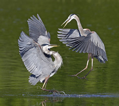 Great Blue Herons squabbling over fishing rights (Mawrter) Tags: morning wild two sun sunlight motion green bird heron nature water birds animal canon outside outdoors morninglight early fight wings action outdoor wildlife birding flight wing delaware splash challenge smyrna greatblueheron avian interaction refuge nationalwildliferefuge squabble confrontation nwr twobirds bombayhook twoanimals specanimal outspread bombayhooknwr