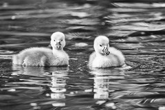 First Swim (dshoning) Tags: two white water swim pond iowa swans cygnets