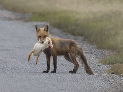 Tastes like chicken (Deb Felmey) Tags: animals eating wildlife fox catch delaware dupontnaturecenter