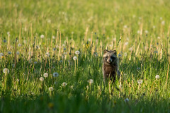 Raccoon dog (Kadri P.) Tags: animal raccoon