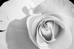 Rosa Blanca (Carlos Garcia Figa) Tags: shadow white black macro blanco up rose close y negro rosa bn and