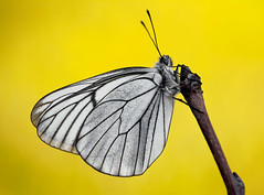 Aporia crataegi (Charaxes14) Tags: lighting shadow white macro yellow butterfly spring lepidoptera balck veins kelebek pieridae aporia crataegi pierid gömörszőlős