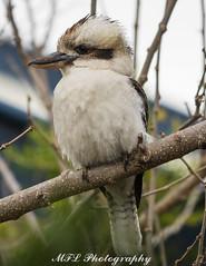 P6180533.jpg (markl62) Tags: bird nature olympus kookaburra omd em1 40150