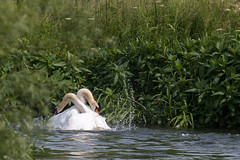 Ongoing Swan Fight (oandrews) Tags: england bird nature animal fauna canon outdoors fight swan unitedkingdom gb aggression fighting muteswan cygnusolor titchmarsh wildlifetrusts aldwincle canonuk canon70d 30dayswild