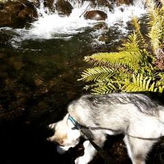 by the river (ameliabeare) Tags: dog creek river puppy malamute alaskanmalamute