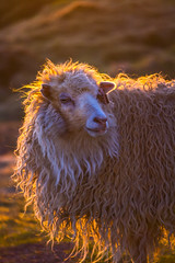 Maybe She's Born With It (West Leigh) Tags: travel sunset sunlight wool nature animal glow sheep dream adventure explore curly experience naturalbeauty faroeislands discover travelphotography