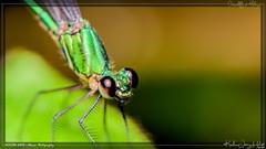damselfly (kelvinj_funlab) Tags: macro insect nikon tamron damselfly kenkoextension d810 funlab nissini40 kelvinjong tamron90mmf28spdimacro11vcusd