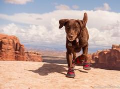 Desert Dawg (KB RRR) Tags: dog chocolatelabrador shyla