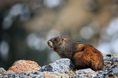 Keeping Guard (dshoning) Tags: colorado marmot mtevans